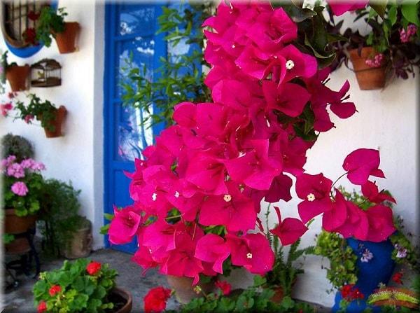 Buganvilla in Andalusian courtyard