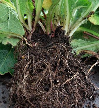 roots-primrose