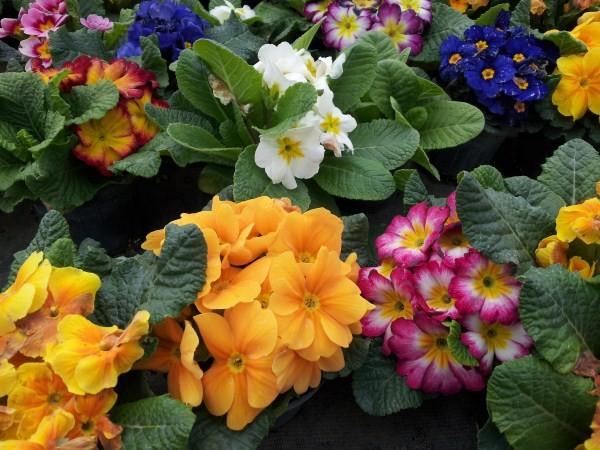 Primroses-perennials