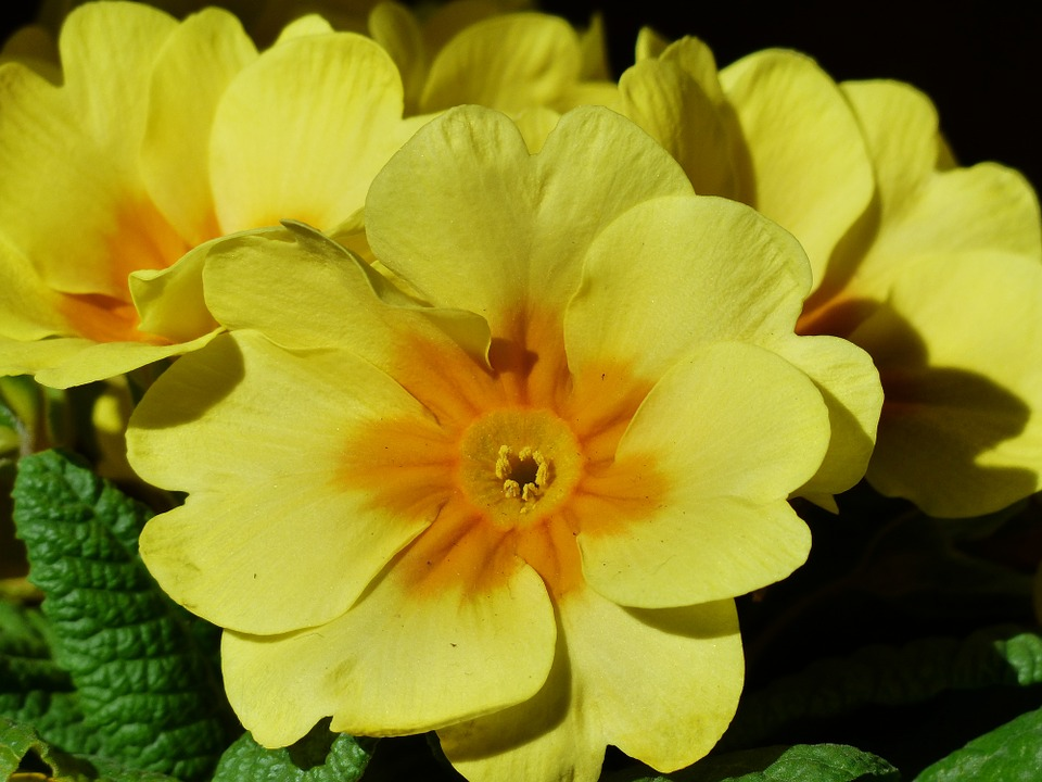 primrose-uses
