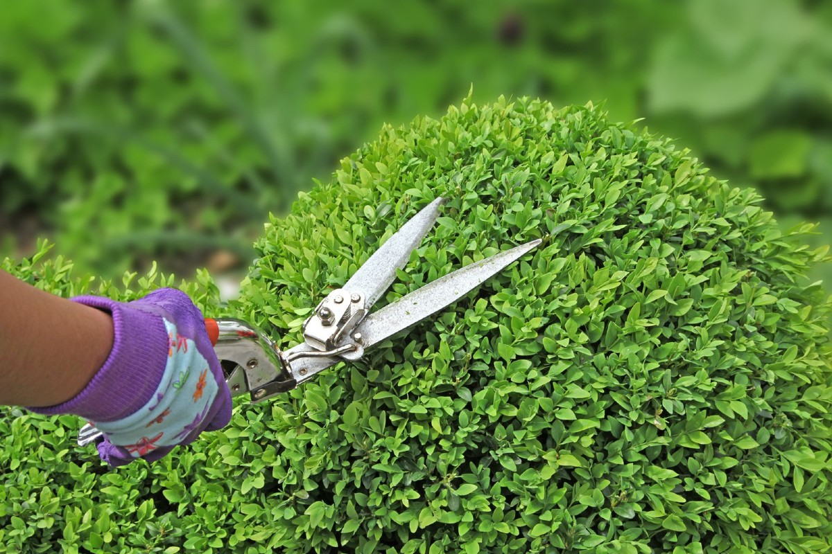 Hedge pruning techniques 5