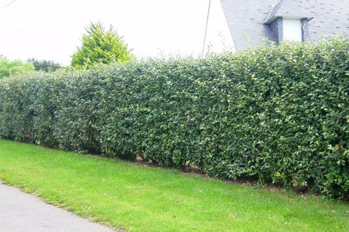 How to choose the right hedge for your garden 4