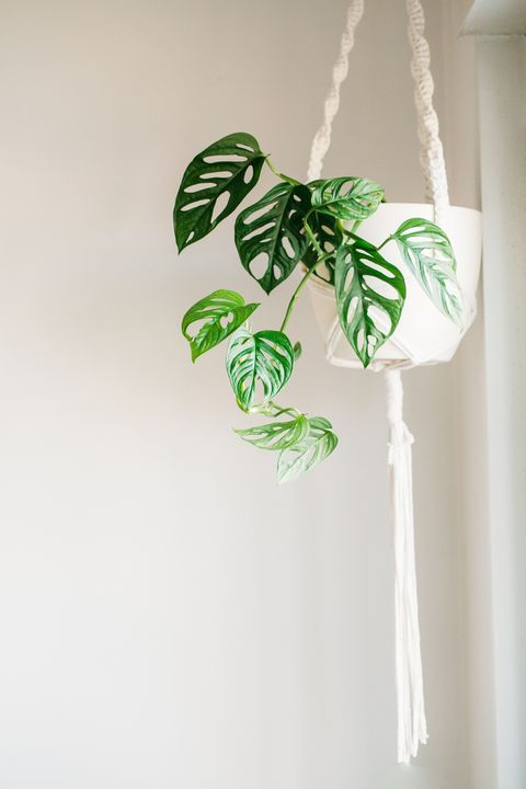 hanging potted monstera