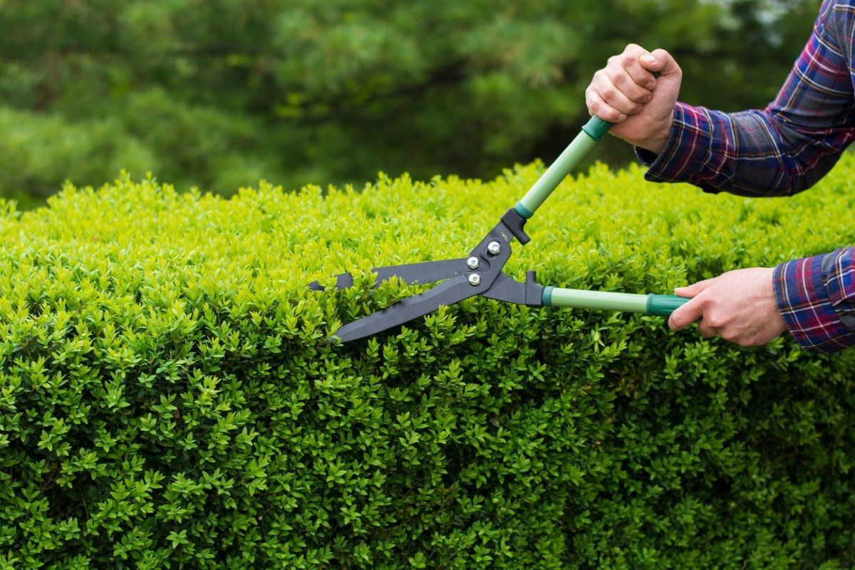 Hedge pruning techniques 1