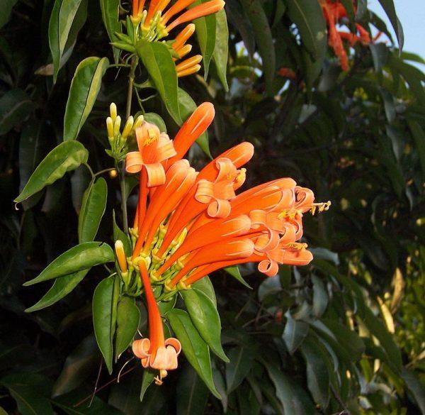 pyrostegia-flowers