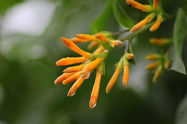pyrostegia-flowers-orange