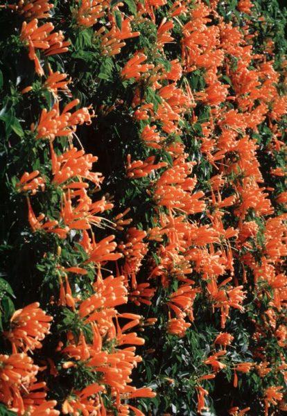 Pyrostegia-venusta-flowering