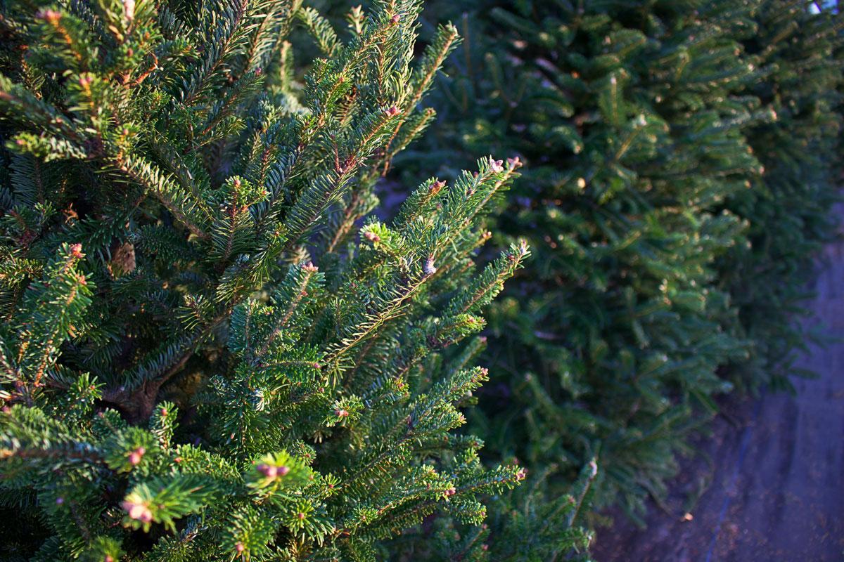 Evergreen garden trees 5