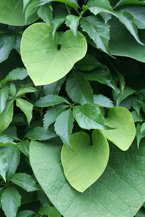 Dalechampia-leaves