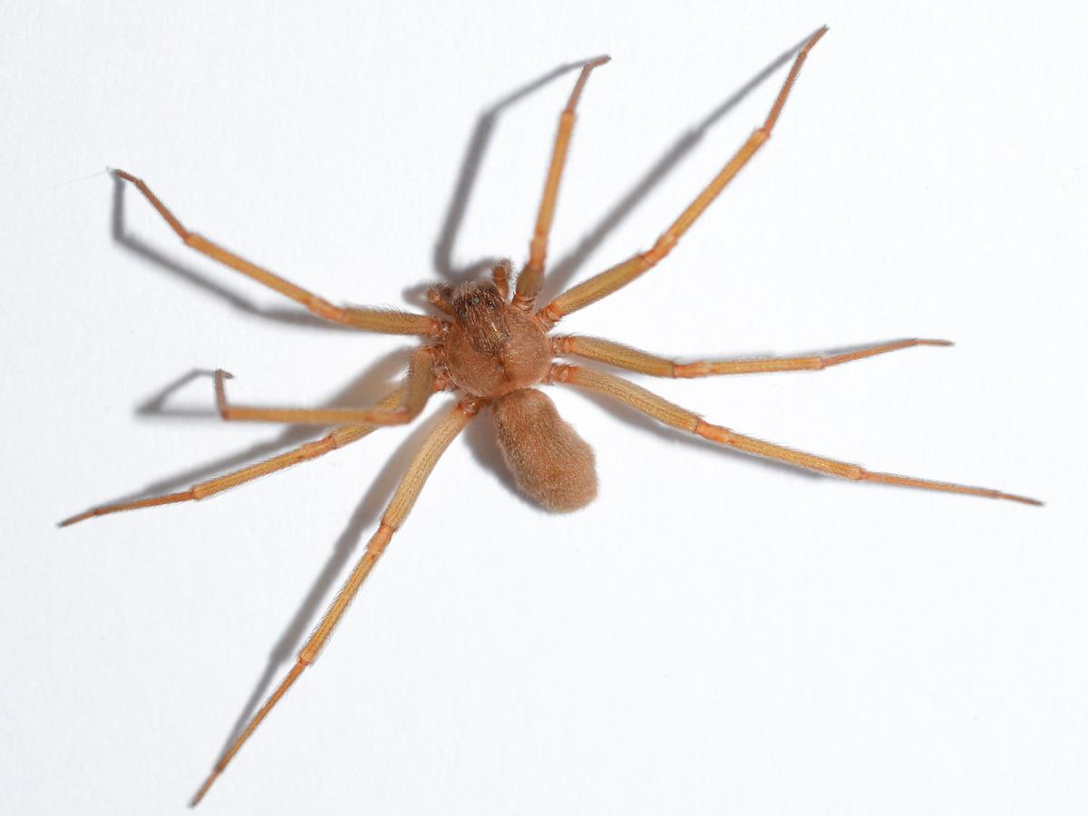 spider-violin-what-to-do-pest control-2