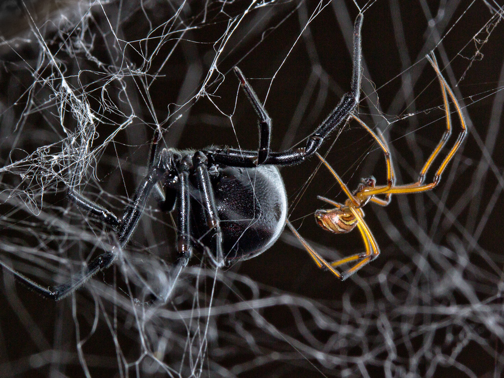 spider-violin-what-to-do-disinfestation-4