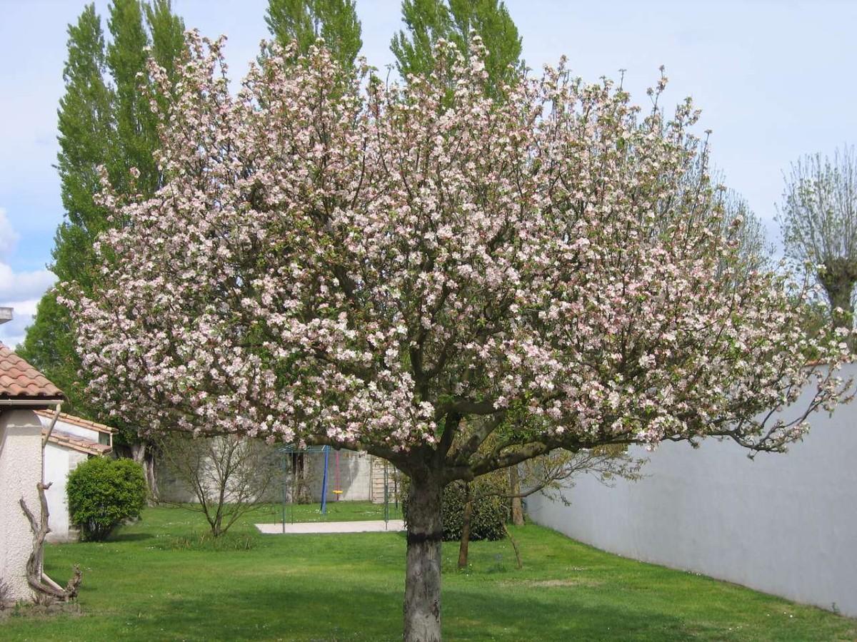 Fruit trees for the garden 7