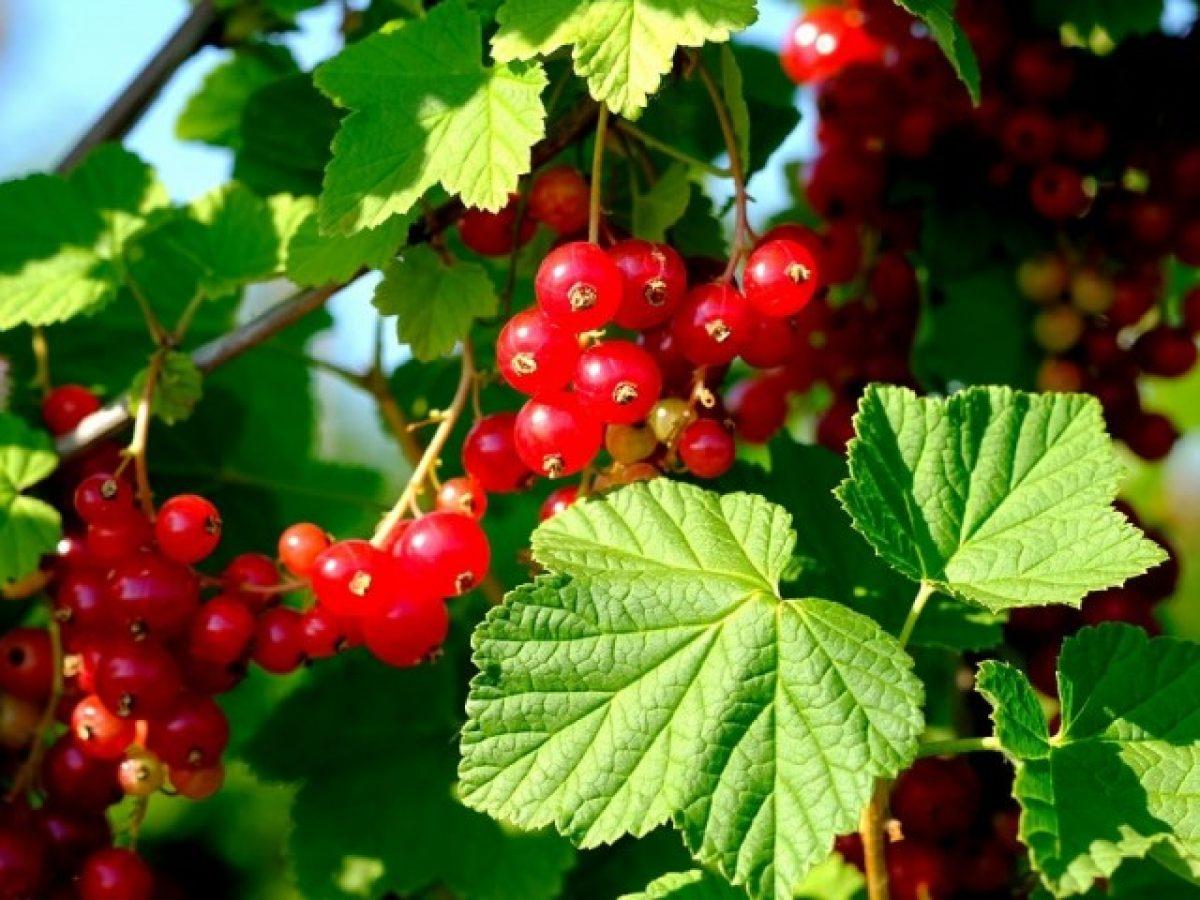 Fruit trees for the garden 6