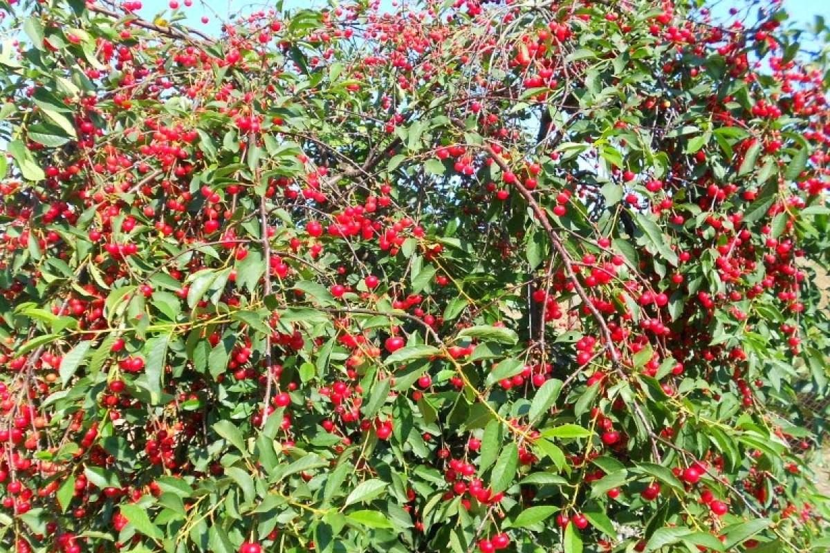 Fruit trees for the garden 8