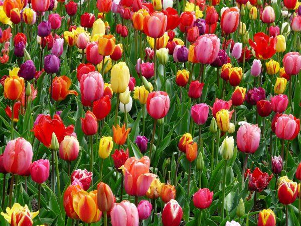 Tulipa or tulips