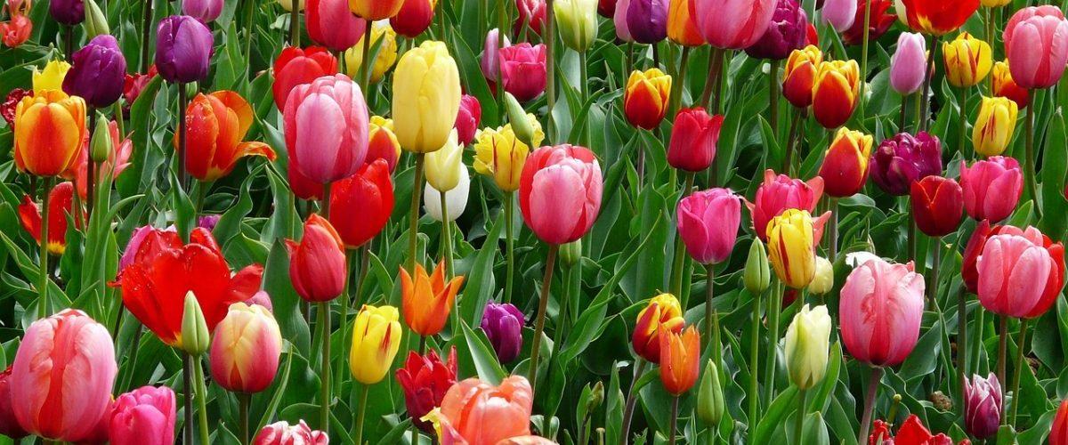 Tulipa o tulipani