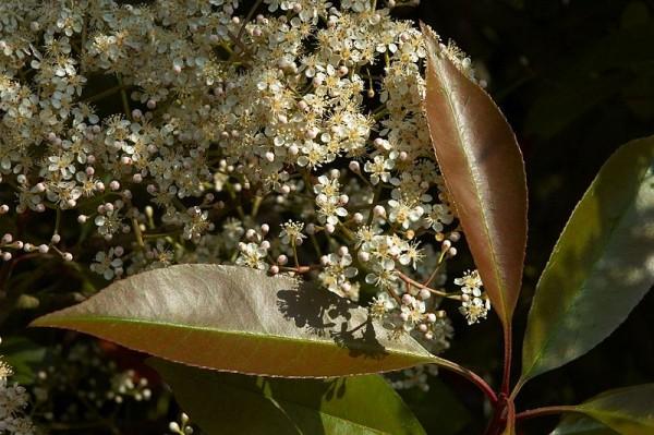 flowers-plant-photinia-photinia