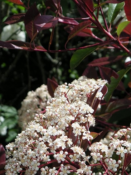 photinia flowers