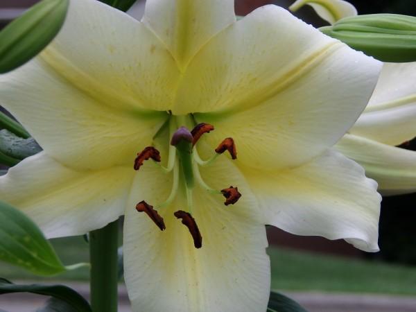 lilium-language-flowers