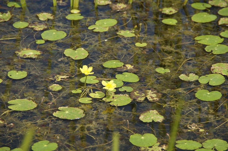 Limnanthemum-Aquatic plant