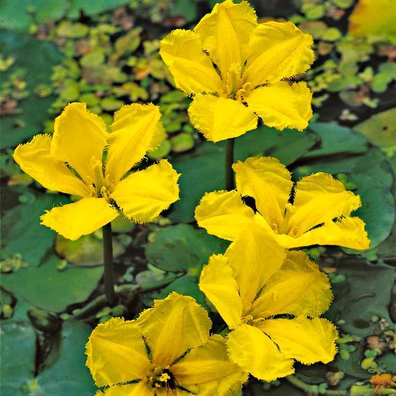 Limnanthemum
