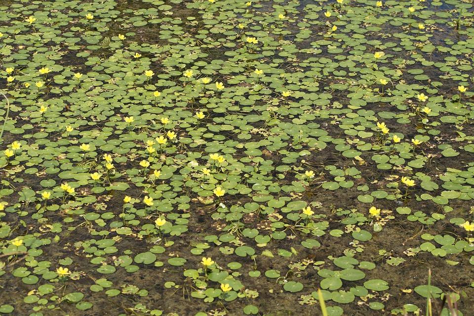 Limnanthemum - Nymphoides peltata
