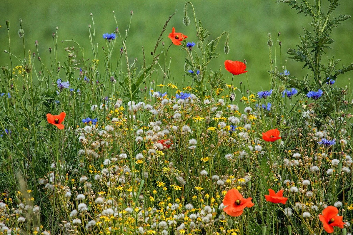 Flowering meadow_ how and when to sow 3