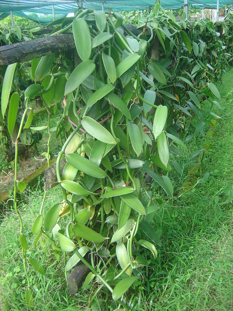 vanilla-cultivation