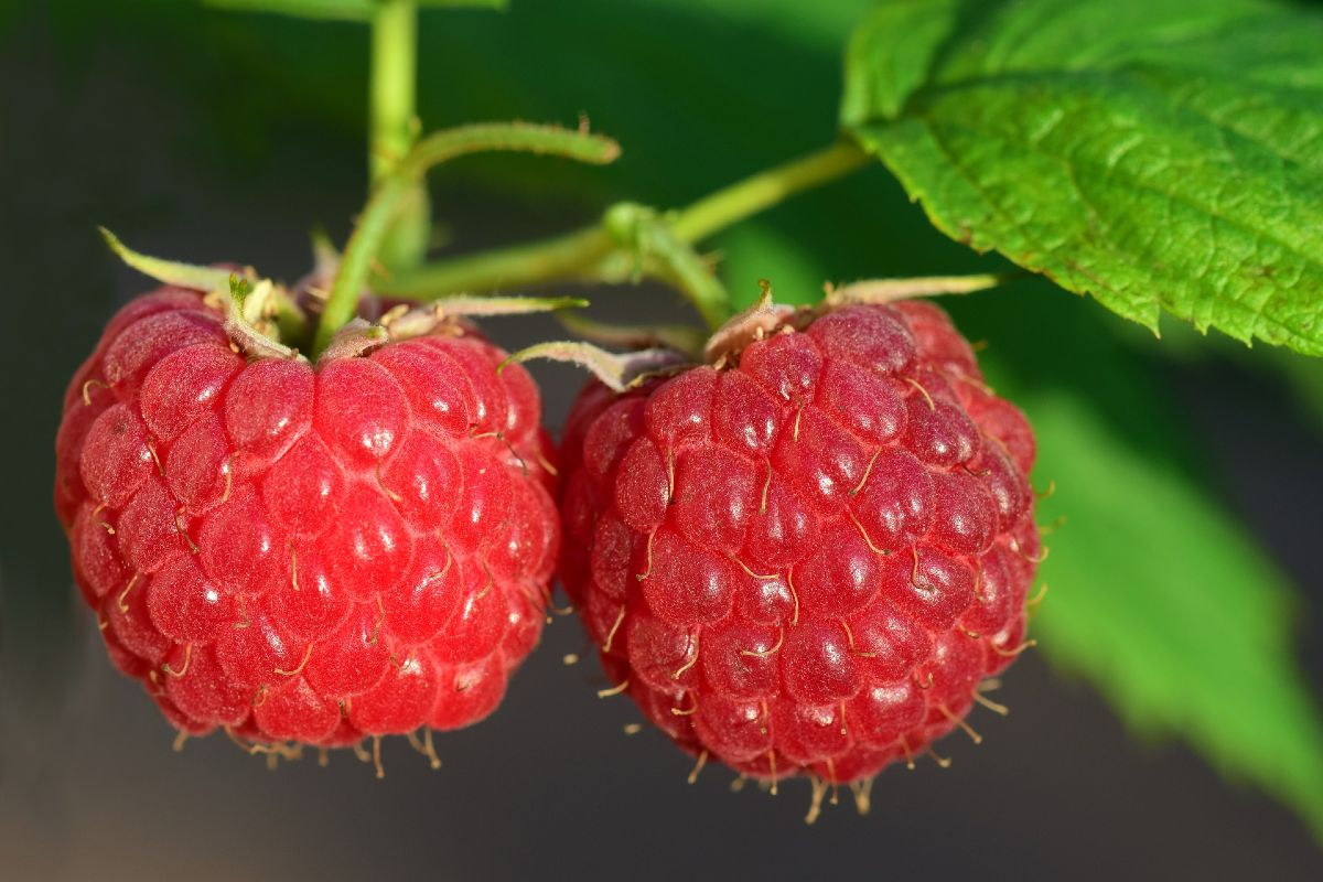 Berries how to grow them in the home garden 5