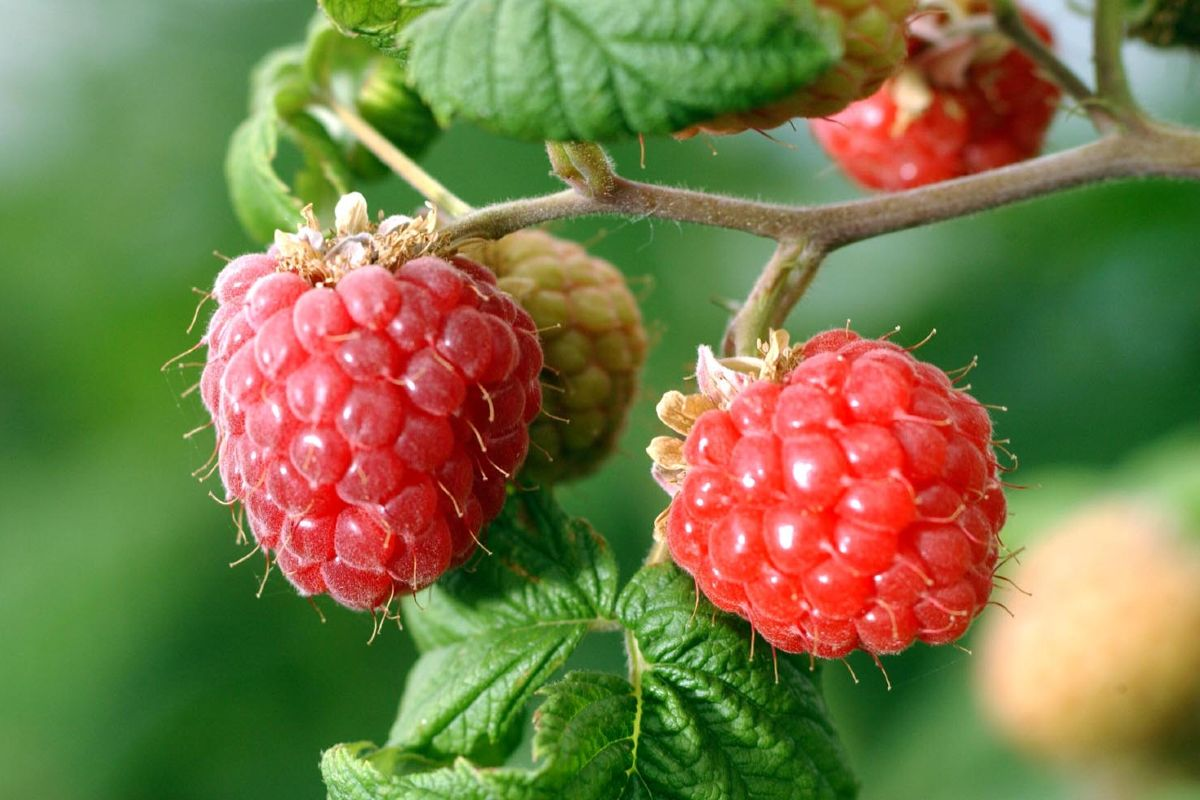 Berries how to grow them in the home garden 1