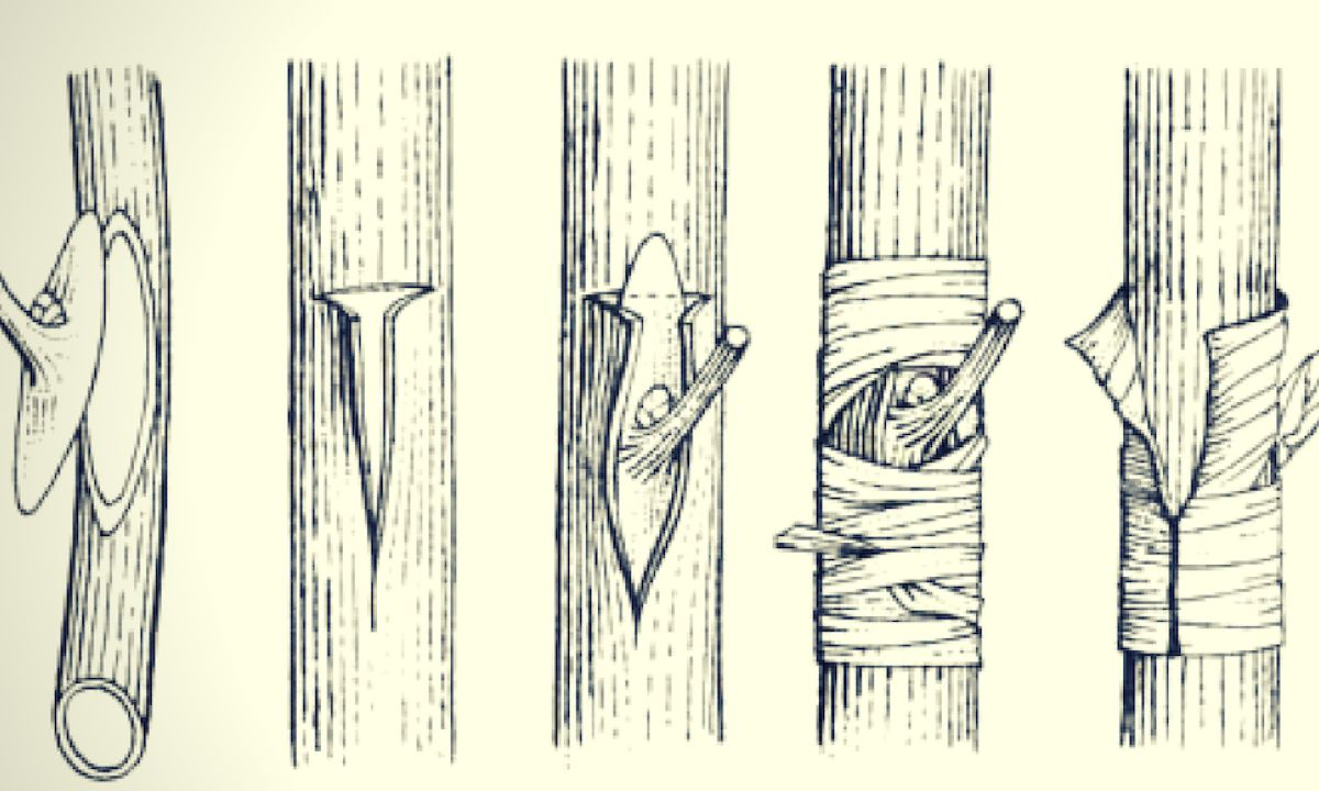 Types of grafting what they are, characteristics 3