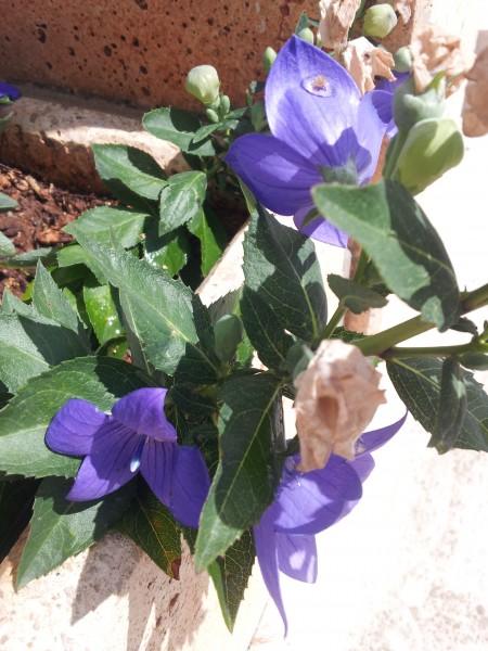 Platycodon-pruning