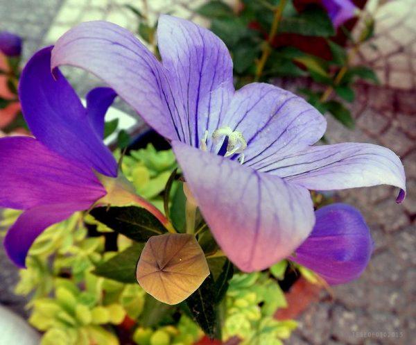 Campanula-grandiflora-Japanese