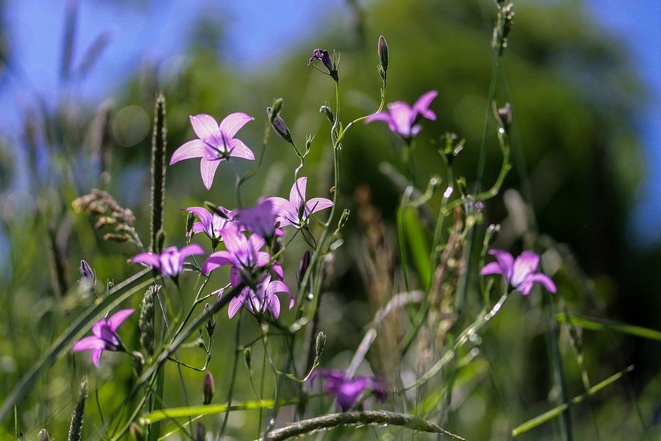 Campanula-rapunculus-flowers