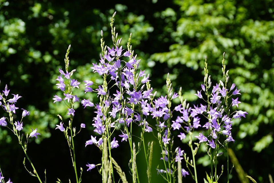 Campanula rapunculus-flowering