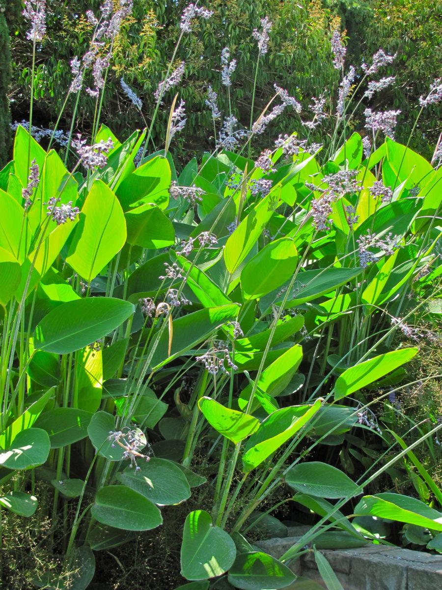 Thalia-dealbata-cultivation