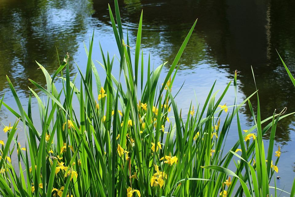 Iris-Iris of water