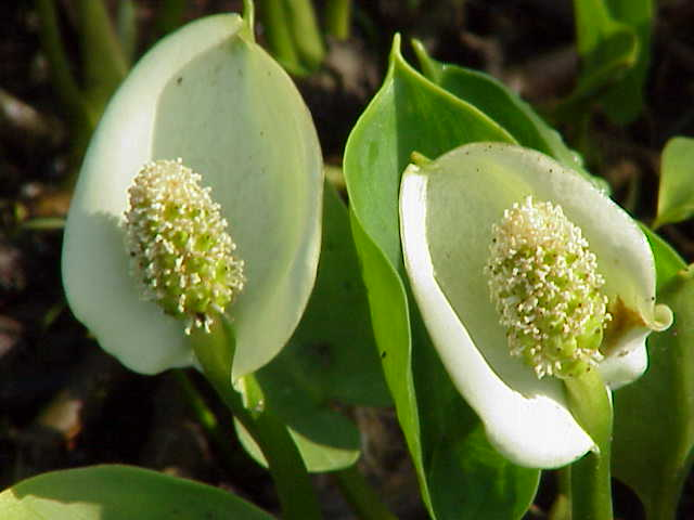 Calla-palustris-flowers
