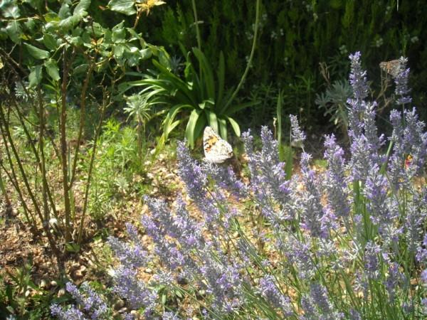 lavender-flowering