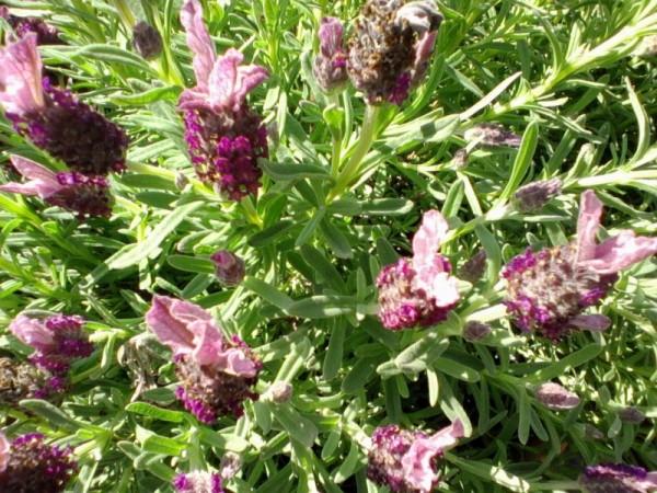 Lavender stoechas cultivation