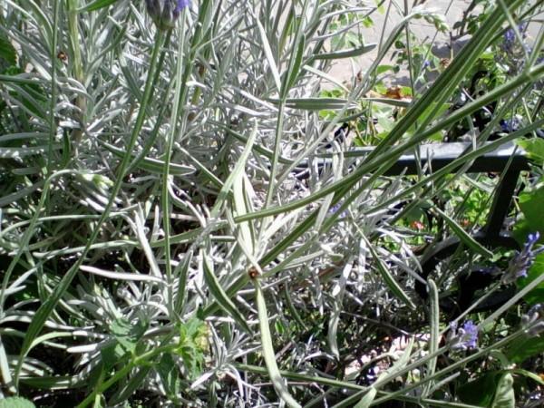 lavender-leaves