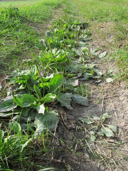 plantago-major-plantain