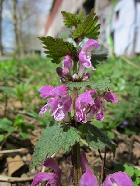 lamium-maculatum-flowers