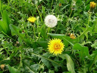 decoction-purifying-dandelion