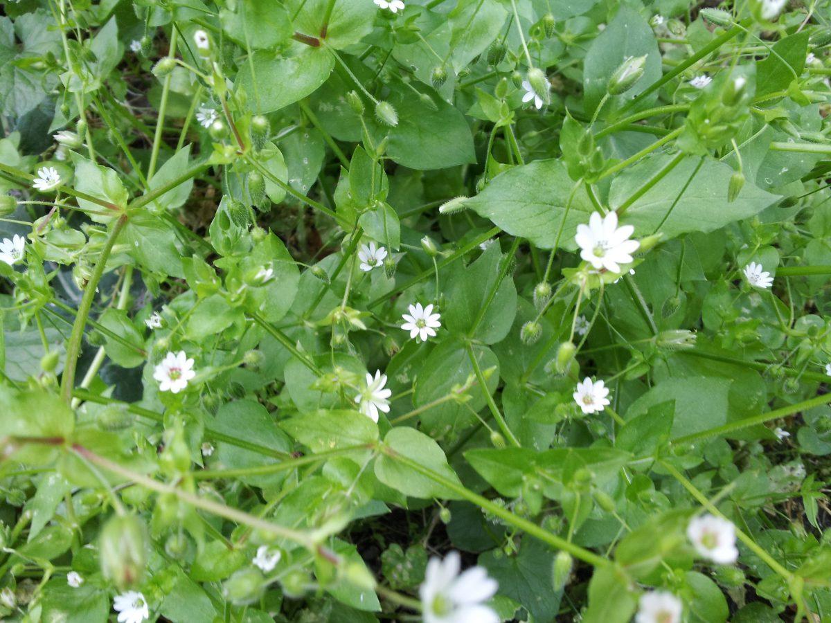 Stellaria-medium-flowering