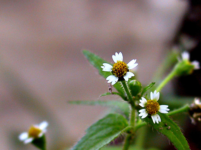 Galinsoga-herbaceous weed