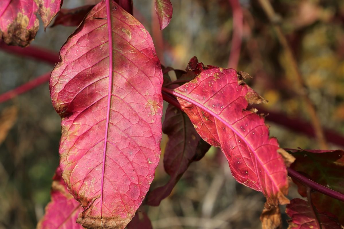 Phytolacca- Phytolacca-leaves-autumn