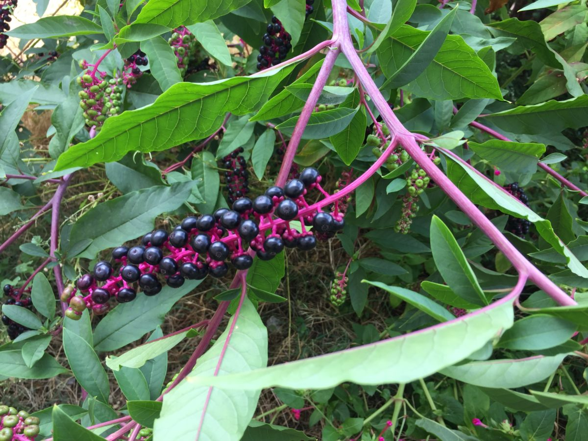 American phytolacca-branches