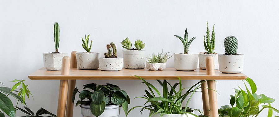 Succulents for indoors
