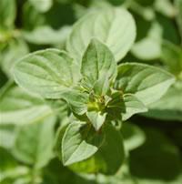 marjoram-herbaceous-aromatic